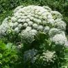 Dangerous Invasive Plant Causes Burns, Blindness
