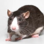 Scientists Give Rodents Infrared Vision