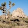 Joshua Tree National Park Recovery May Take Centuries