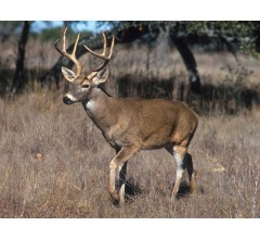 Image for CDC Warns Hunters Of Deer-to-human Tuberculosis Transmission