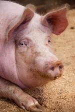 Pig Pandemic Pushing Pork Prices Higher