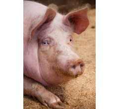 Image for Pig Pandemic Pushing Pork Prices Higher