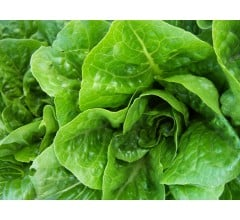 Image for Death Attributed To Romaine Lettuce E. Coli Outbreak
