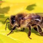 Study Links Popular Herbicide To Honey Bee Deaths