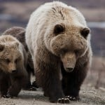 Montana Judge Blocks Grizzly Bear Hunts In Wyoming, Idaho