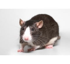 Image for First Human Case Of Rat Disease Hepatitis E Found