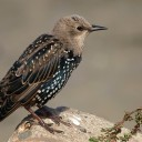 North American Bird Populations Declining At Alarming Rate