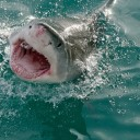 Scientists Developing Shark-proof Wetsuit