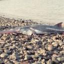 Chinese Paddlefish Declared Extinct