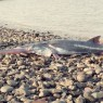 Chinese Paddlefish Declared Extinct