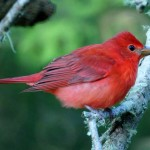 Red color in birds: It's all in the genes