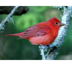 Image for Red color in birds: It's all in the genes