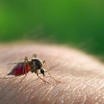 EPA Approves Release of Bacteria-Infested Mosquitoes