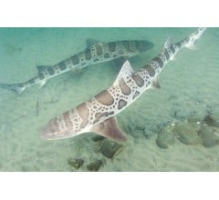 Image for Female Leopard Shark Spontaneously Bears Young Despite Absence of Mate