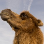 Beauty Pageant Camels Disqualified Over Botox Injections