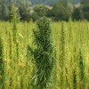Cannabis Drug Treats Epilepsy Successfully