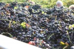 California Enjoys Prolific Year for Wine Grapes