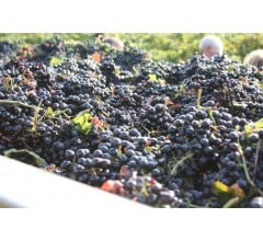 Image for California Enjoys Prolific Year for Wine Grapes