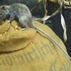 Bubonic and Pneumonic Plague Hits Madagascar