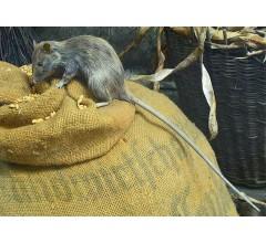 Image for Bubonic and Pneumonic Plague Hits Madagascar